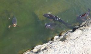 松本城のお堀にいる鯉