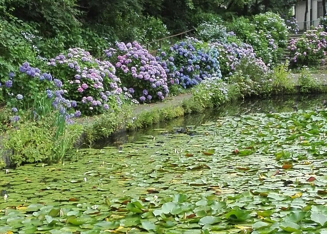 室山池のあじさい